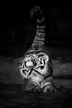 Ooh tigers, the potential power in that stretch and the grace that has confidence underpinning it kitty cats, animals, big cats, pet, tigers, dog, yoga, mornings, stretching