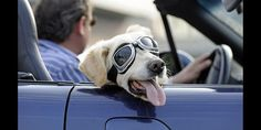 Goggles for dogs, especially those in cars, is a popular new trend called doggles.