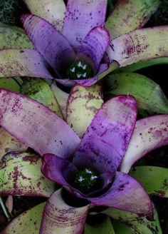 Purple Neoregelia Bromeliad