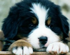 bernese mountain puppy.. one came over to me the other day and put his paw on my foot. Needless to say, I melted into a puddle of mush