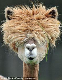 Alpaca - bad hair day?
