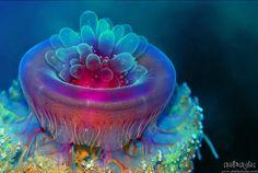 Jellyfish- Berenice, Red Sea, Egypt