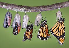 info about monarch butterflies