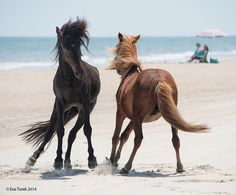 "Everyone loves playing on the beach, and the Corolla wild horses are no exception!  Photo by by Eve Turek - ""Turf Tustle"""
