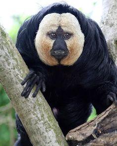 """El """"cara blanca"""" saki es un mono de nuevo mundo encontrado en Brasil, guayana francesa y venezuela."""