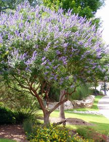 Shrubs   Chaste Tree Vitex    --This is one of our favorite trees in our yard. (zone 7a) We saw some in N.O.LA as tall as a 2 story building. Blooms favor that of a Butterfly Bush. Hummingbirds love it, as well as the bees, and butterflies too. It will rebloom for us, without deadheading. Love Love Love this tree. LM
