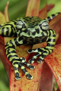 Tiger's Treefrog. This species was only recently described in 2008 in the jungles of Colombia and Ecuador. I animals, camo, tree frogs, green, jungl, trees, tigers, black, tiger treefrog