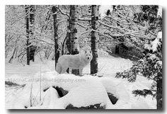 Wolves of Ely, Minnesota