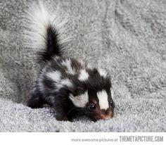 Baby skunks deserve more appreciation…