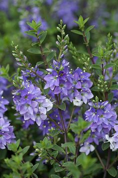 Hebe 'Youngii' - A compact, spreading, evergreen shrub which is smothered in short spikes of large violet flowers all summer, that gradually fade to white. The tiny leaves are dark green and glossy and often have fine red margins. Its spreading habit makes it ideal for rock gardens, or try it planted en-masse along a path or driveway. Like most hebes, it will flourish in a range of conditions, and once established, it is drought-tolerant, too. The flowers are a magnet for bees and butterflies.