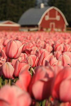 Skagit Valley Tulip Festival … Washington State. I'd love to see this one day.