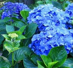 Toss a few pennies in the soil to turn hydrangeas blue
