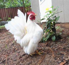 Sunshine Seramas sunshin serama, serama chicken