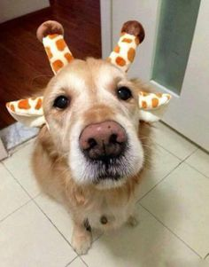 <3 <3 <3 Golden Giraffe <3 <3 <3