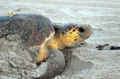 Go on a Sea Turtle Walk