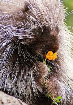 Porcupines ~ http://ourbeautifulworldanduniverse.com/porcupines.html