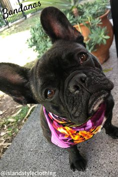 'Willow' wearing a cute hawaiian print bandana. We have them in a range of colours to match our Hawaiian clothing for men, women & children. #frenchie #frenchbulldog #chichi #chihuahua #bandana #dogbandana #frenchiebandana #pugs #hawaiianprints #hawaiianbandana #islandstyleclothing #dogs #dogs #pets #dogbandanas #dog-bandanas #petsofpinterest
