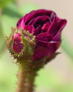 Moss Rose Rosa 'Nuits de Young'