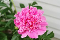 How To Grow Perfect Peonies