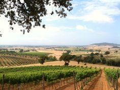 Tuscan vineyard from VBT's #Tuscany by the Sea vacation. #Wine #Italy