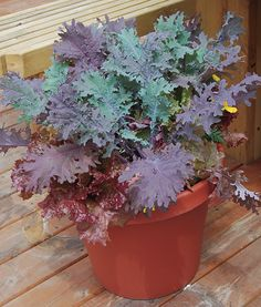 Growing Kale in a Co