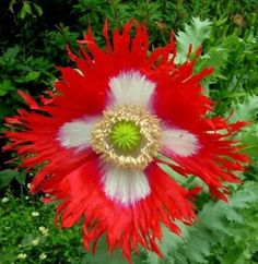 Danish Flag Afghan Poppy 250 Seeds - Papaver Somniferum. #plant #mosquito