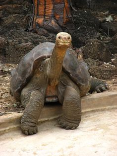Tortoise 100 years old, taking a rest