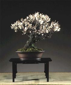 tree, beauty, cherries, cherri bonsai, flower, japanes apricot, apricots, bonsaium japanes, cherry blossoms