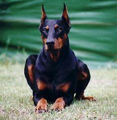 doberman, beauti dog