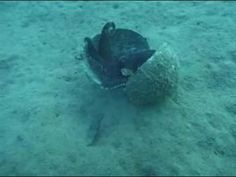 Coconut carrying octopus - my coworker tells me that this is the first known example of an invertebrate tool user!