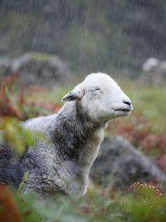 {smiling sheep in the rain}