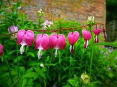 Dicentra at Calke Abbey, by Rachael Oliver