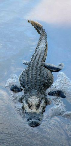 Alligator taking a mud bath.. (by Karla_S on Flickr)