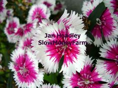 8x10 picture just $20 for July! Watermark doesn't show in the enlargement you'll get. Original photograph of flowers we grew. Benefits small farm projects.