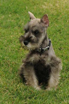 #Miniature #Schnauzer #Puppy <3