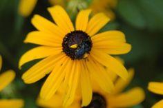 carpent bee, habitat garden, butterfli habitat, pollen basket, bee xylocopa, garden flower