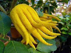 Des Agrumes originaux, tendances et rares : http://www.alsagarden.com/article-55603-des-agrumes-extraordinaires-tend.html