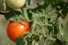 My Best Tomato Growing Tips  D and G Gardens and Crafts Blog