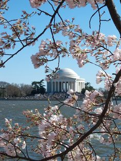 Cherry Trees in Washington DC. Over 3,000 cherry trees were given to the U.S. by the mayor of Tokyo in 1912. 100 years later, the U.S. reciprocated by giving dogwood trees to the people of Japan. #Nature #CherryTrees