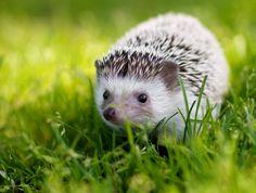 {Pinecone the Hedgehog}