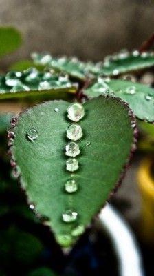 Dew Drops.
