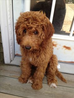 The sweetest goldendoodle