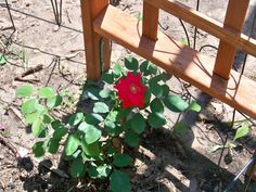 Blazing Glory Climbing Rose  first bloom..growing slow but steady. Hope it survives the transplant this fall after mending the soil.