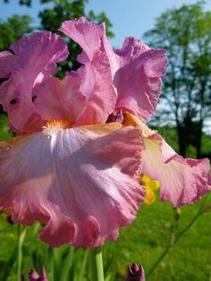 Beekman Irises | Beekman1802.com