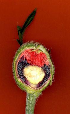Cross section of a poppy flower  .