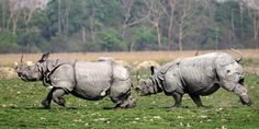A male Indian one-horned rhino is chased away by another male rhino in the Pobitora wildlife sanctuary, Morigaon district of Assam, north-east India. Fights among the rhinos are common in mating seasonPhotograph: EPA