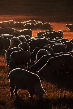 ♥ grazing sheep