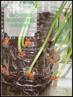 Growing Beans And Onions Indoors | Diary of a First Child