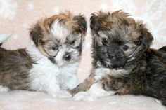 Angel Doll Boots is on the right. #puppies #dogs #animals