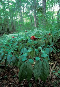 Ginseng plants with berries